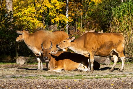 Banteng, Bos javanicus or Red Bull It is a type of wild cattle But there are key characteristics that are different from cattle and bison is: A white band bottom in both males and females.