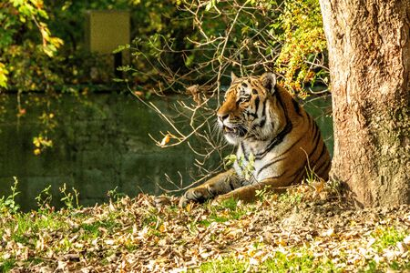The Siberian tiger,Panthera tigris altaica is the biggest cat in the world Stockfoto