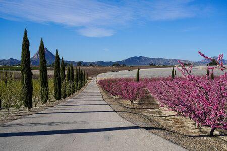 Peach blossom in Cieza, Mirador El Horno in the Murcia region in Spain