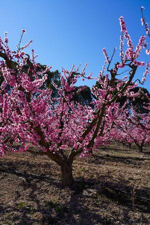 Peach blossom in Cieza, Mirador del Soto de la Zarzuela. Photography of a blossoming of peach trees in Cieza in the Murcia region. Peach, plum and nectarine trees. Spain Stockfoto - 143219587