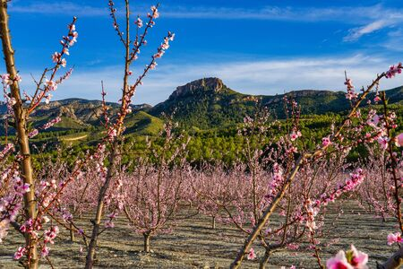 Peach blossom in Cieza La Torre. Photography of a blossoming of peach trees in Cieza in the Murcia region. Peach, plum and nectarine trees. Spain Stockfoto - 143219602
