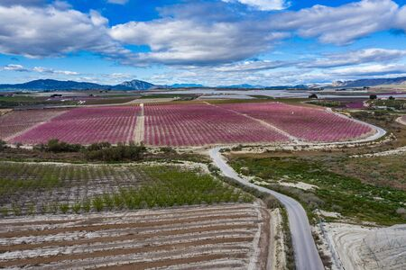 Peach blossom in Ascoy near Cieza. Photography of a blossoming of peach trees in Cieza in the Murcia region. Peach, plum and nectarine trees. Spain