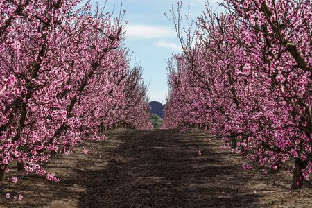 Peach blossom in Cieza, Mirador del Soto de la Zarzuela. Photography of a blossoming of peach trees in Cieza in the Murcia region. Peach, plum and nectarine trees. Spain Stockfoto - 143218988