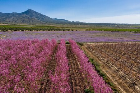 Peach blossom in Jumilla. Photography of a blossoming of peach trees in Jumilla in the Murcia region. Peach, plum and nectarine trees. Spain Stockfoto