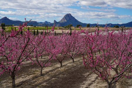 Peach blossom in Cieza, Mirador El Horno. Photography of a blossoming of peach trees in Cieza in the Murcia region. Peach, plum and nectarine trees. Spain Stockfoto - 143218991