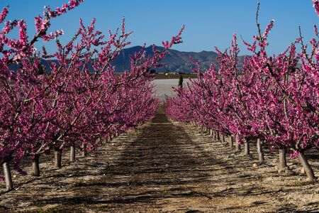 Peach blossom in Cieza, Mirador El Horno in the Murcia region in Spain Stockfoto - 143219049