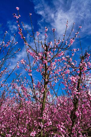 Peach blossom in Cieza, Mirador del Soto de la Zarzuela. Photography of a blossoming of peach trees in Cieza in the Murcia region. Peach, plum and nectarine trees. Spain Stockfoto - 143218610