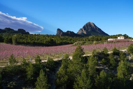 Peach blossom in Cieza La Torre. Photography of a blossoming of peach trees in Cieza in the Murcia region. Peach, plum and nectarine trees. Spain Stockfoto - 143218654