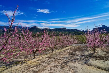 Peach blossom in Cieza, Mirador del Soto de la Zarzuela. Photography of a blossoming of peach trees in Cieza in the Murcia region. Peach, plum and nectarine trees. Spain Stockfoto - 143218667