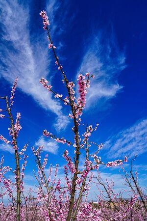 Peach blossom in Cieza, Mirador del Soto de la Zarzuela. Photography of a blossoming of peach trees in Cieza in the Murcia region. Peach, plum and nectarine trees. Spain Stockfoto - 143218674