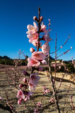 Peach blossom in Cieza La Torre. Photography of a blossoming of peach trees in Cieza in the Murcia region. Peach, plum and nectarine trees. Spain Stockfoto - 143218238