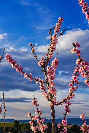 Peach blossom in Cieza La Torre. Photography of a blossoming of peach trees in Cieza in the Murcia region. Peach, plum and nectarine trees. Spain Stockfoto