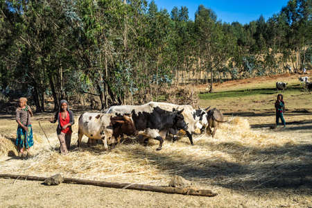 Gondar, Ethiopia - Feb 07, 2020: agricultural population working on the farms between Gondar and the Simien mountains, North Ethiopia, Africa Redactioneel