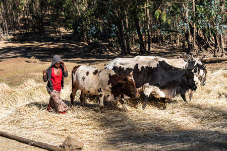 Gondar, Ethiopia - Feb 07, 2020: agricultural population working on the farms between Gondar and the Simien mountains, North Ethiopia, Africa Stockfoto - 143146573