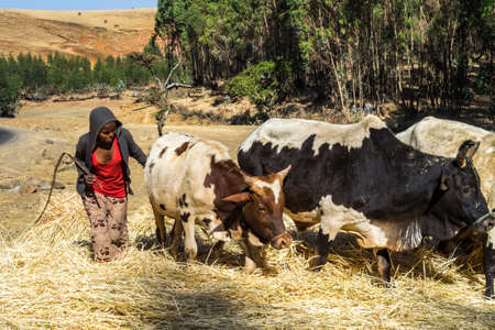 Gondar, Ethiopia - Feb 07, 2020: agricultural population working on the farms between Gondar and the Simien mountains, North Ethiopia, Africa Stockfoto - 143146574