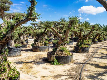 Olive trees nursery in Elche near Alicante in Spain, Western Europe Stockfoto