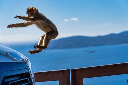 Close up of a wild macaque or Gibraltar monkey, one of the most famous attractions of the British overseas territory. 版權商用圖片
