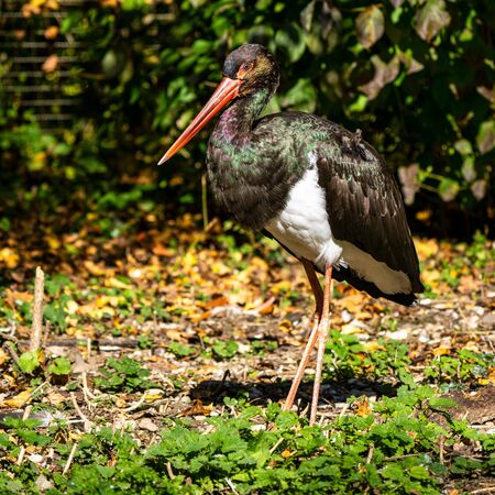 Black stork, Ciconia nigra in a german nature park