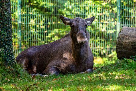 European Moose, Alces alces, also known as the elk. Wild life animal. Stock Photo
