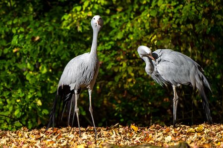 The Blue Crane, Grus paradisea, is an endangered bird Stockfoto - 146960084
