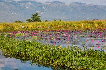 Inle Lake, Myanmar - Nov 09, 2019: Lotus plantation on Inle Lake in Myanmar, former Burma in Asia