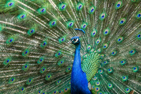 The Indian peafowl or blue peafowl, Pavo cristatus is a large and brightly coloured bird, is a species of peafowl native to South Asia, but introduced in many other parts of the world.