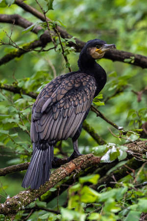 The great cormorant, Phalacrocorax carbo known as the great black cormorant across the Northern Hemisphere, the black cormorant in Australia and the black shag further south in New Zealand Stockfoto