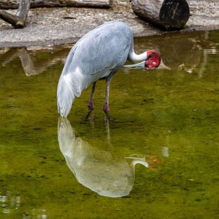 The Sarus crane, Grus antigone is a large non-migratory crane found in parts of the Indian Subcontinent, Southeast Asia and Australia.