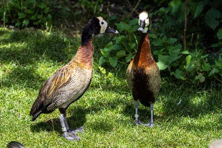 White-faced whistling duck, Dendrocygna viduata, noisy bird with a clear three-note whistling call at the lake. Close up. Side view. Nature landscape. Birds watching Stockfoto
