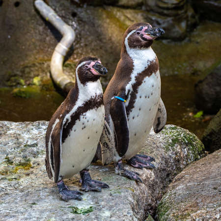The Humboldt Penguin, Spheniscus humboldti also termed Peruvian penguin, or patranca is a South American penguin that breeds in coastal Chile and Peru.