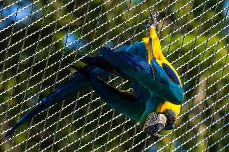 The Blue-and-yellow Macaw, Ara ararauna also known as the blue-and-gold macaw, is a large South American parrot with mostly blue top parts and light orange underparts 스톡 콘텐츠