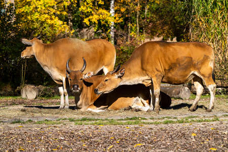 Banteng, Bos javanicus or Bull It is a type of wild cattle But there are key characteristics that are different from cattle and bison is: A white band bottom in both males and females.