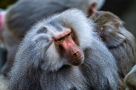 The hamadryas baboon, Papio hamadryas is a species of baboon, being native to the Horn of Africa and the southwestern tip of the Arabian Peninsula.