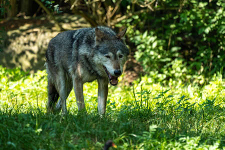 The wolf, Canis lupus, also known as the grey wolf or timber wolf is a canine native to the wilderness and remote areas of Eurasia and North America. Stock Photo