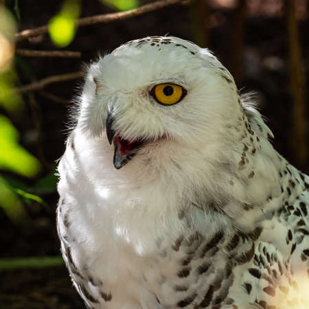 The Snowy Owl, Bubo scandiacus is a large, white owl of the typical owl family. Snowy owls are native to Arctic regions in North America and Eurasia.