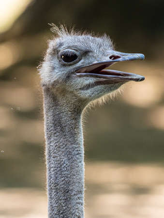 The common ostrich, Struthio camelus, or simply ostrich, is a species of large flightless bird native to Africa. It is one of two extant species of ostriches