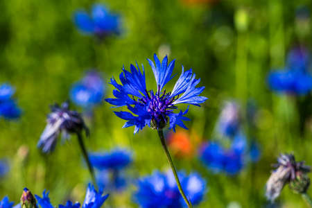 Lentil flowering with poppies and cornflowers in Castelluccio di Norcia, national park sibillini mountains, Italy, Europe