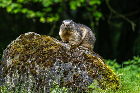Alpine marmot, marmota marmota, is a species of marmot found in mountainous areas of central and southern Europe