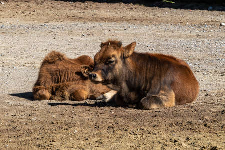 Young baby Heck cattle, Bos primigenius taurus, claimed to resemble the extinct aurochs.