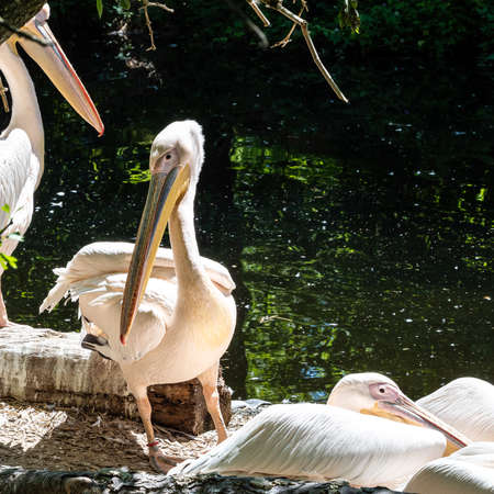 The Great White Pelican, Pelecanus onocrotalus also known as the rosy pelican is a bird in the pelican family.