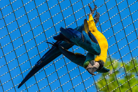 The Blue-and-yellow Macaw, Ara ararauna also known as the blue-and-gold macaw, is a large South American parrot with mostly blue top parts and light orange underparts Banco de Imagens