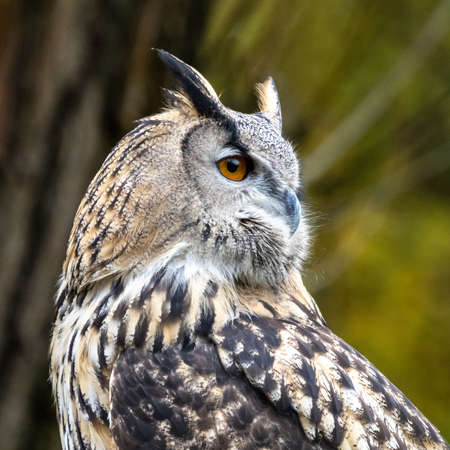 The Eurasian Eagle Owl, Bubo bubo is a species of eagle-owl that resides in much of Eurasia. It is also called the European eagle-owl