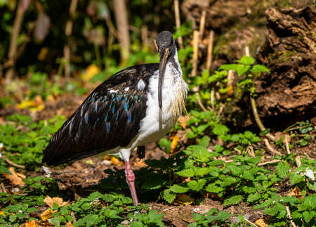 The Straw-necked Ibis, Threskiornis spinicollis is a bird of the ibis and spoonbill family Threskiornithidae.