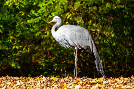 The Blue Crane, Grus paradisea, is an endangered bird specie endemic to Southern Africa. It is the national bird of South Africa