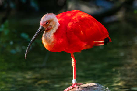 The Scarlet ibis, Eudocimus ruber is a species of ibis in the bird family Threskiornithidae. It inhabits tropical South America and islands of the Caribbean. Banco de Imagens