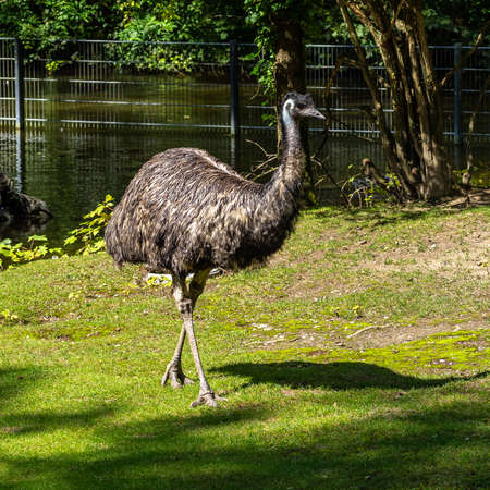 The emu, Dromaius novaehollandiae is the second-largest living bird by height, after its ratite relative, the ostrich. It is endemic to Australia