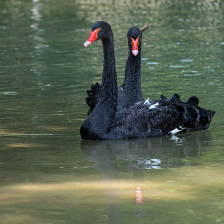 The Black Swan, Cygnus atratus is a large waterbird, a species of swan which breeds mainly in the southeast and southwest regions of Australia. Banco de Imagens