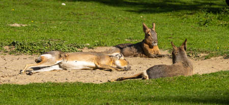 Patagonian Mara, Dolichotis patagonum. These large relatives of guinea pigs are common in the Patagonian steppes of Argentina but live in other areas of South America as well such as Paraguay. Banco de Imagens