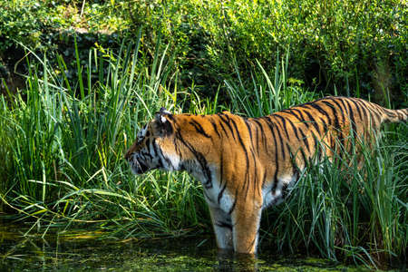 The Siberian tiger,Panthera tigris altaica is the biggest cat in the world Banco de Imagens