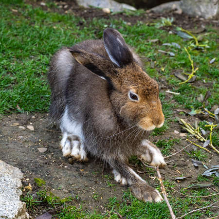 Mountain hare, Lepus timidus, also known as the white hare with brown hair in summer Banco de Imagens